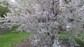 迟来的 春天 在白色花服的樱桃 影视素材