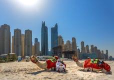 迪拜,阿拉伯联合酋长国- 10月11日:有骆驼的流浪者在Jum的海滩 图库摄影