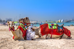 迪拜,阿拉伯联合酋长国- 10月11日:有骆驼的流浪者在Jum的海滩 免版税库存照片