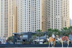 迪拜- 1月25 :关闭流浪者,乘坐在迪拜小游艇船坞住宅摩天大楼和旅馆前面的一头骆驼在1月25日 免版税库存照片