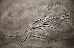 迪诺化石 免版税图库摄影