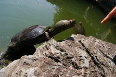 迷人手指尼日尔pelusios乌龟 免版税图库摄影