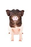 迷人的小的猪的画象 库存照片