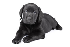 迷人的拉布拉多小狗 免版税库存照片