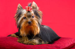 迷人的时兴的小犬座约克夏狗 库存图片