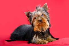 迷人的时兴的小犬座约克夏狗 免版税库存图片