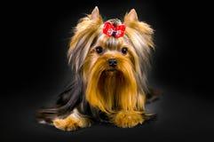 迷人的时兴的小犬座约克夏狗 库存照片