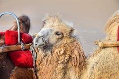 迷人的骆驼在沙漠 免版税库存照片