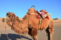 迷人的骆驼在沙漠 库存照片