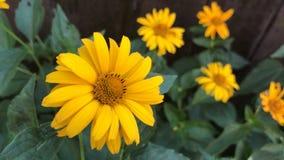 迷人的黄色花在庭院里增长 股票录像