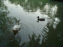 迷人鸭子1 免版税库存图片