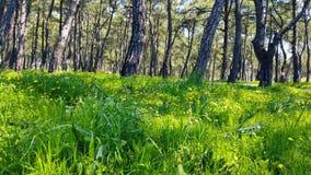 迷惑的春天-杉木森林02 股票视频
