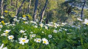 迷惑的春天-雏菊和蒲公英在批评的森林09里 影视素材