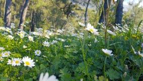 迷惑的春天-雏菊和蒲公英在批评的森林08里 股票视频