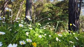 迷惑的春天-雏菊和蒲公英在森林17里 影视素材