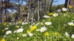 迷惑的春天-雏菊和蒲公英在森林02里 股票视频