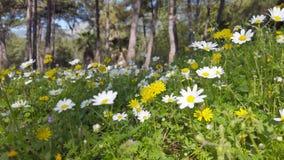 迷惑的春天-雏菊和蒲公英在森林01里 股票录像