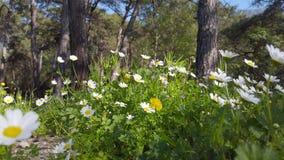 迷惑的春天-雏菊和蒲公英在森林14里 股票视频