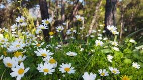 迷惑的春天-雏菊和蒲公英在森林18里 影视素材