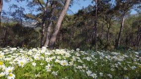 迷惑的春天-雏菊在森林06里 股票视频