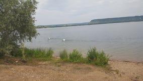 迷惑的湖,湖鸭子 库存图片