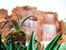 迷离瀑布背景的一棵小的肥胖植物 免版税库存图片
