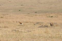 追捕汤姆生瞪羚的Malaika猎豹 库存照片
