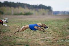 追猎 狗灵狮追求在领域的诱饵 免版税库存图片