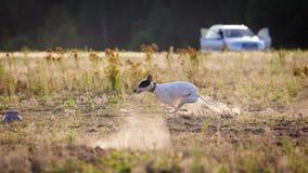 追猎 白色whippet狗追求诱饵 库存图片