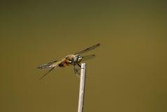 追赶者四被察觉的libellula quadrimaculata 免版税库存图片