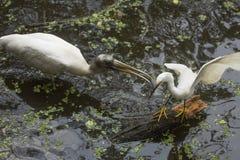追逐一只白鹭的木鹳在佛罗里达沼泽地 免版税库存图片