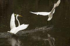 追逐别的一伟大的白鹭,飞溅在佛罗里达Evergl 图库摄影