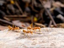 追逐到威胁的红色蚂蚁小组 库存图片
