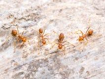 追逐到威胁的红色蚂蚁小组 图库摄影
