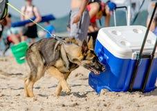 追逐在滚动的狗致冷机以后 图库摄影