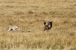 追逐少年角马的Mussiara猎豹 免版税库存图片