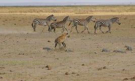 追逐斑马的鬣狗 免版税库存图片