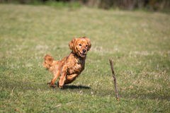 追逐棍子的Cockapoo狗 免版税库存图片