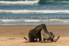 追逐海狮 免版税库存照片