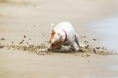 追逐狗的球 免版税库存照片