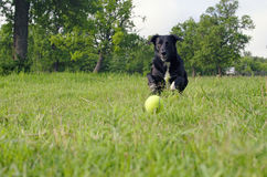 追逐狗的球 库存图片
