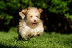 追逐球的嬉戏的havanese小狗 免版税库存照片