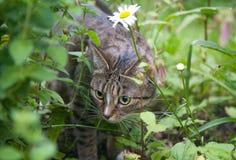 追逐草的猫 免版税图库摄影