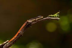 追逐螳螂的蜥蜴 库存照片
