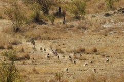 追逐被结合的猫鼬的Mussiara 库存图片