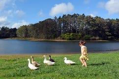 追逐野鸭的小女孩 库存照片