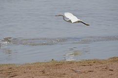 追逐鱼的大白色鸟在Sharm El谢赫 免版税库存照片