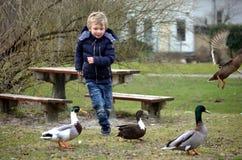 追逐鸭子的年轻男孩 库存图片