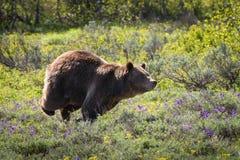 追逐!保卫她的疆土的北美灰熊母猪 免版税库存图片