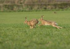追逐fema的欧洲棕色野兔(天兔座europaeus) 免版税库存照片